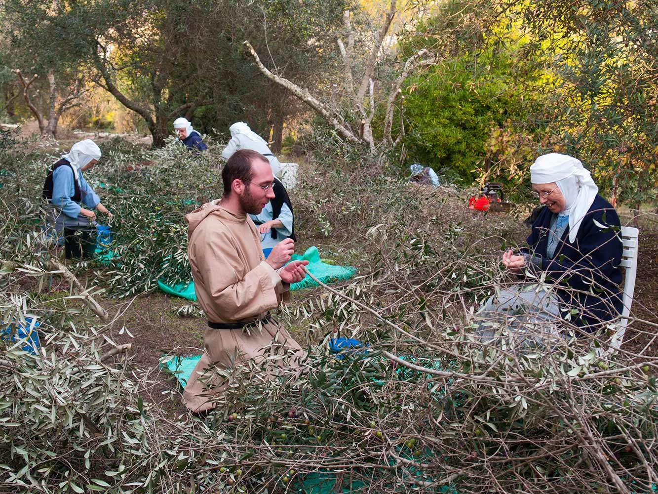 benedictins-abu-gosh-recolte-oliviers